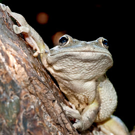 Cuban tree frog by Joe McBroom - Animals Amphibians