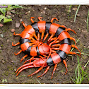 Indian Giant Tiger Centipede