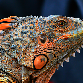 by Sigit Purnomo - Animals Reptiles