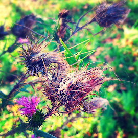 Thistle by Žaklina Šupica - Instagram & Mobile Android