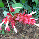Red Shrimp Plant