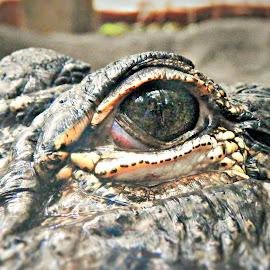 Croc's Eye Close-Up by Cheryl Beaudoin - Animals Reptiles ( crocodile, reptile, croc, close-up, eye )