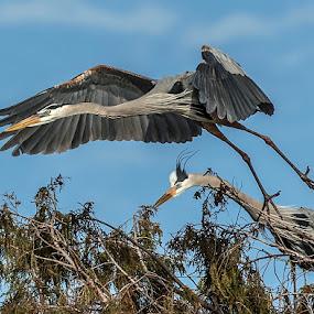 by Harold Blum - Animals Birds