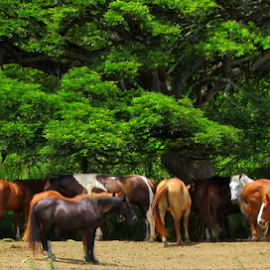 Ku'aloa Ranch Horses by Mina Thompson - Animals Horses ( ranch, ku'aloa, horses, travel, hawaii )