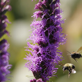 by Todd Yonkers - Nature Up Close Hives & Nests ( bees, nature, bee, summer, flower )