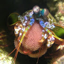 Peacock Mantis Shrimp carrying Eggs