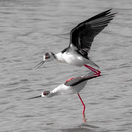 cavalieri d'italia by Federico Cusumano - Animals Birds ( water, cavalieri, cavalieri d'italia, black and white, birds,  )