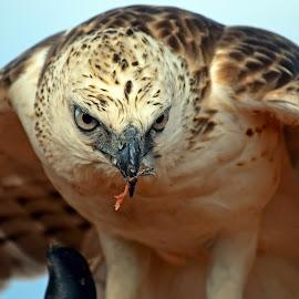 Elang by AbngFaisal Ami - Animals Birds ( bird, fly, flight )
