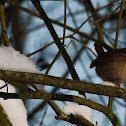 winterkoninkje (Troglodytes troglodytes)
