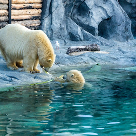 Mother Polar Bear by Charlie McCormack - Novices Only Wildlife ( polar bear )