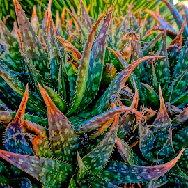 Aloe Vera by Barbara Brock - Nature Up Close Other plants ( succulents, dry weather plants, colorful plants, aloe vera, cactus )