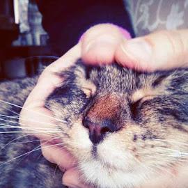 Pancakes!!!! by Angela Chen - Animals - Cats Portraits ( cats, kitten, cat, flat face, flat, pancakes, flat faced, kittens, pancake )