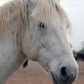 Really? by Barbara Langfeld - Animals Horses ( farm animals, animals, horses, close-up, equestrian )