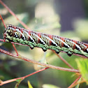 Banded sphinx caterpillar