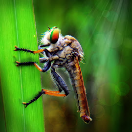 Robberfly by Ajiz Abiez - Digital Art Animals