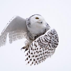 And away she goes by Jill Beim - Animals Birds ( birds of prey, animals, winter, white, birds, snowy owl )