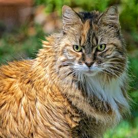 Miss Libby by Sandy Scott - Animals - Cats Portraits ( cat, cat portrait, pets, pet cat, feline, persian cat, rescued cat,  )