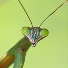 G'Day Mate! by Dennis Ba - Animals Insects & Spiders ( green eyes, insect, praying mantis )