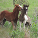 Chincoteague pony foals