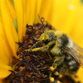 Bee covered in pollen by Jo Anne Keasler - Novices Only Macro