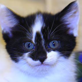 Before by Ron Jnr - Animals - Cats Kittens ( kitten, kitten's eyes, kitten face, black and white kitten, kitten looking,  )