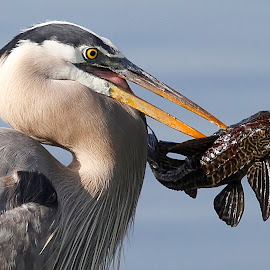 Great Blue Heron's Whopper Catch Down The Hatch by Leslie Reagan - Animals Birds ( bird, great blue heron, nature, catch, shorebird, heron,  )