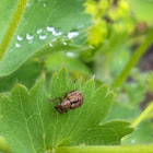Nut Leaf Weevil