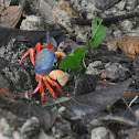 Halloween crab / Moon crab / Harlequin crab