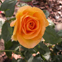 Gold Medal Rose