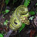 Eyelash- viper