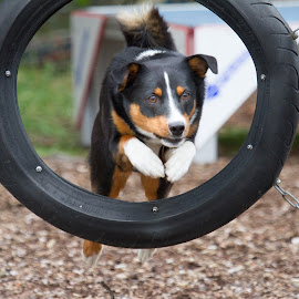 Wheeee! by Peter Grutter - Animals - Dogs Running ( jumping, high energy, fun, dog, running, agility, competition )