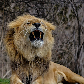 The boss by Esther Lane - Animals Lions, Tigers & Big Cats ( king of the jungle, lion, teeth, mouth open, animal,  )