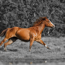 Running by Christopher Beveridge - Animals Horses ( chestnut, horse, running horse )