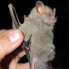 Little Big-Eyed Bat