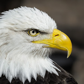 D610 & 70-200mm Tamron (cropped) by Andrea Silies - Animals Birds ( bird, eagle, bald eagle )
