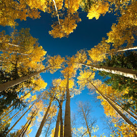 Looking Up! by George Kremer - Landscapes Forests ( blue sky, aspen trees, wide angle, fall, goldend, colorado, yellow, aspen )