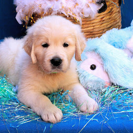 Shimma by Julie Blight - Animals - Dogs Puppies ( rabbit, blue, basket, puppy, golden,  )