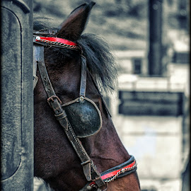 by Dragan Duric - Animals Horses ( horse )