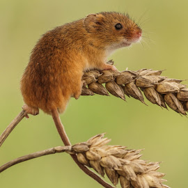 Wheat harvest by Garry Chisholm - Animals Other Mammals ( mice, garry chisholm, mouse, nature, wildlife, harvest, rodent )