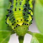 Orange-barred Sulphur Caterpillar