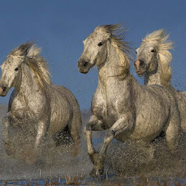 Galloping Horses by Austin Thomas - Animals Horses