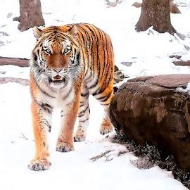 by John Larson - Animals Lions, Tigers & Big Cats