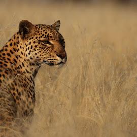 Leopard in grass by Adéle van Schalkwyk - Animals Lions, Tigers & Big Cats ( wild, hunter, free, cat, leopard )