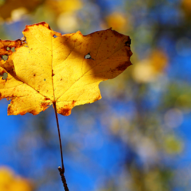 by Dipali S - Nature Up Close Leaves & Grasses ( sky, blue, autumn, foliage, fall, yellow, leaf, closeup )