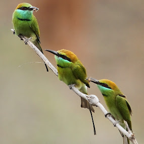Green Bee-eaters by S Balaji - Animals Birds ( animals, nature, green bee-eaters, birds, , renewal, green, trees, forests, natural, scenic, relaxing, meditation, the mood factory, mood, emotions, jade, revive, inspirational, earthly )