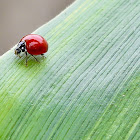 Lady Bug / Lady Beetle