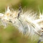 Seed mimicking caterpillars