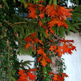 Oak Sapling in Autumn by Jane Spencer - Nature Up Close Trees & Bushes ( autumn, oak, sapling, ivy, hemlock )