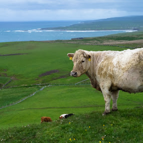 Cow - Ireland by Jamerson Rodrigues de Melo - Animals Other Mammals ( farm, water, sky, ireland, grass, green, cow, landscape,  )