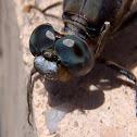 Black-tailed Skimmer. Libélula